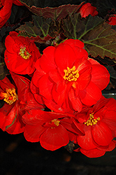 Nonstop® Mocca Scarlet Begonia (Begonia 'Nonstop Mocca Scarlet') at Plants Unlimited