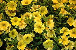 Callie® Yellow Calibrachoa (Calibrachoa 'Callie Yellow') at Plants Unlimited