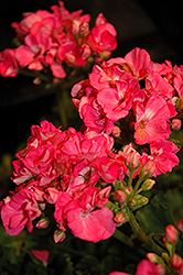 Rocky Mountain Pink Geranium (Pelargonium 'Rocky Mountain Pink') at Plants Unlimited