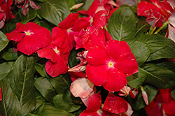 Cora® Cascade Cherry Vinca (Catharanthus roseus 'Cora Cascade Cherry') at Plants Unlimited