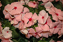 Cora® Apricot Vinca (Catharanthus roseus 'Cora Apricot') at Plants Unlimited