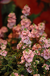 Sundiascia® Upright Blush Pink Twinspur (Diascia 'Sunjodipi') at Plants Unlimited