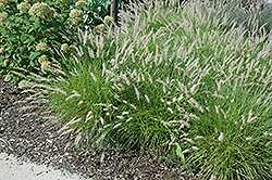 Oriental Fountain Grass (Pennisetum orientale) at Plants Unlimited