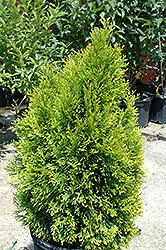 Highlights Arborvitae (Thuja occidentalis 'Janed Gold') at Plants Unlimited