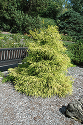 Lemon Thread Falsecypress (Chamaecyparis pisifera 'Lemon Thread') at Plants Unlimited
