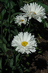 Crazy Daisy Shasta Daisy (Leucanthemum x superbum 'Crazy Daisy') at Plants Unlimited
