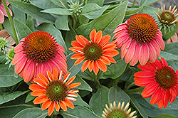 Sombrero® Hot Coral Coneflower (Echinacea 'Balsomcor') at Plants Unlimited