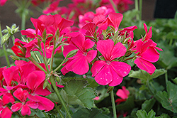 Timeless™ Rose Geranium (Pelargonium 'Timeless Rose') at Plants Unlimited