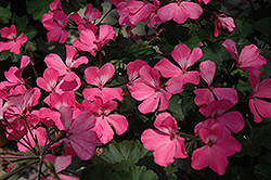 Timeless™ Pink Geranium (Pelargonium 'Timeless Pink') at Plants Unlimited