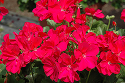 Boldly® Hot Pink Geranium (Pelargonium 'Boldly Hot Pink') at Plants Unlimited