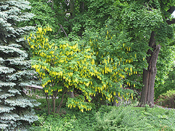 Weeping Laburnum (Laburnum x watereri 'Pendulum') at Plants Unlimited