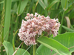 Common Milkweed (Asclepias syriaca) at Plants Unlimited