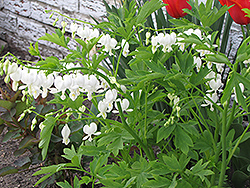 White Bleeding Heart (Dicentra spectabilis 'Alba') at Plants Unlimited