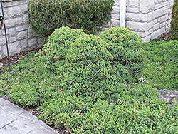 Dwarf Japgarden Juniper (Juniperus procumbens 'Nana') at Plants Unlimited