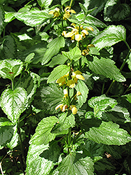 Yellow Archangel (Lamiastrum galeobdolon) at Plants Unlimited