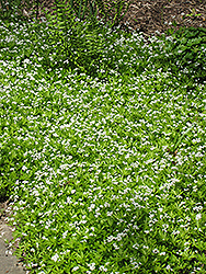 Sweet Woodruff (Galium odoratum) at Plants Unlimited