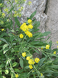 Basket Of Gold Alyssum (Aurinia saxatilis 'Basket Of Gold') at Plants Unlimited