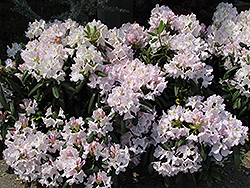 White Catawba Rhododendron (Rhododendron catawbiense 'Album') at Plants Unlimited