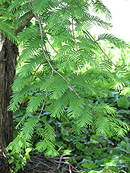 Dawn Redwood (Metasequoia glyptostroboides) at Plants Unlimited