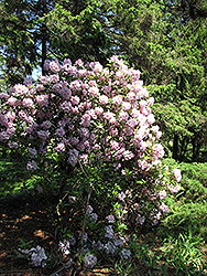 Catawba Rhododendron (Rhododendron catawbiense) at Plants Unlimited