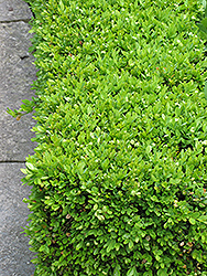 Green Velvet Boxwood (Buxus 'Green Velvet') at Plants Unlimited