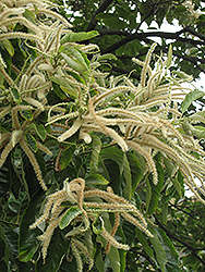 Chinese Chestnut (Castanea mollissima) at Plants Unlimited