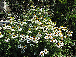 White Swan Coneflower (Echinacea purpurea 'White Swan') at Plants Unlimited
