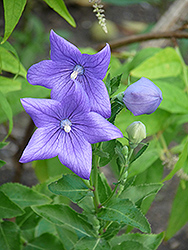 Balloon Flower (Platycodon grandiflorus) at Plants Unlimited
