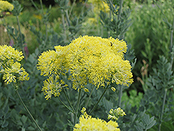 Yellow Meadow Rue (Thalictrum flavum 'Glaucum') at Plants Unlimited