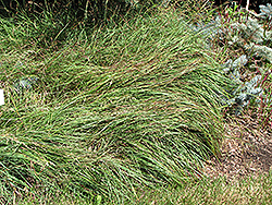 Blue Sedge (Carex flacca) at Plants Unlimited