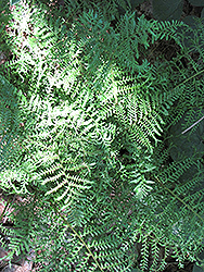 Male Fern (Dryopteris filix-mas) at Plants Unlimited
