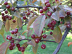 Indian Summer Flowering Crab (Malus 'Indian Summer') at Plants Unlimited