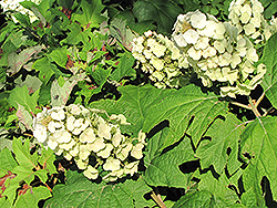 Snow Queen Hydrangea (Hydrangea quercifolia 'Snow Queen') at Plants Unlimited