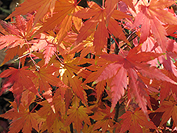 Orange Dream Japanese Maple (Acer palmatum 'Orange Dream') at Plants Unlimited