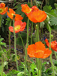 Iceland Poppy (Papaver nudicaule) at Plants Unlimited