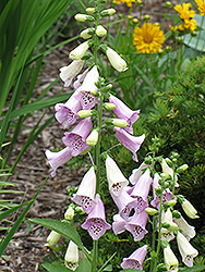 Foxy Foxglove (Digitalis purpurea 'Foxy') at Plants Unlimited