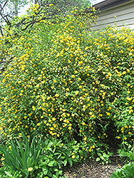 Double Flowered Japanese Kerria (Kerria japonica 'Pleniflora') at Plants Unlimited