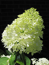 Limelight Hydrangea (Hydrangea paniculata 'Limelight') at Plants Unlimited
