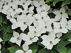 Chinese Dogwood (Cornus kousa 'var. chinensis') at Plants Unlimited