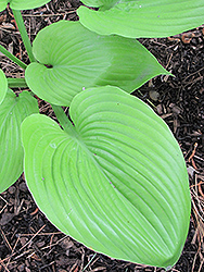 Sum and Substance Hosta (Hosta 'Sum and Substance') at Plants Unlimited