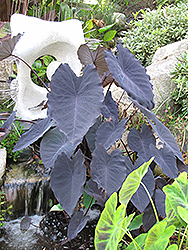 Black Magic Elephant Ear (Colocasia esculenta 'Black Magic') at Plants Unlimited