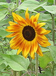 Evening Sun Annual Sunflower (Helianthus annuus 'Evening Sun') at Plants Unlimited