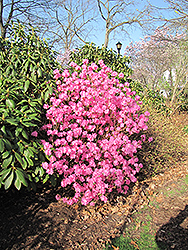 Landmark Rhododendron (Rhododendron 'Landmark') at Plants Unlimited