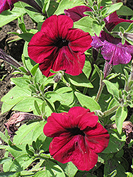 Madness Burgundy Petunia (Petunia 'Madness Burgundy') at Plants Unlimited