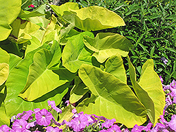 Royal Hawaiian® Maui Gold Elephant Ear (Colocasia esculenta 'Maui Gold') at Plants Unlimited