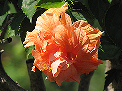 Double Orange Hibiscus (Hibiscus rosa-sinensis 'Double Orange') at Plants Unlimited
