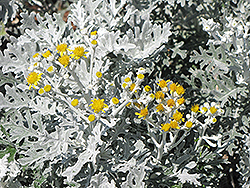 Silver Dust Dusty Miller (Senecio cineraria 'Silver Dust') at Plants Unlimited
