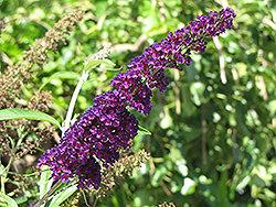 Black Knight Butterfly Bush (Buddleia davidii 'Black Knight') at Plants Unlimited