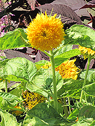 Teddy Bear Annual Sunflower (Helianthus annuus 'Teddy Bear') at Plants Unlimited