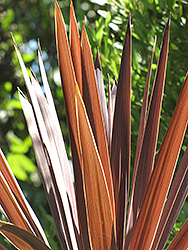 Red Star Red Grass Tree (Cordyline australis 'Red Star') at Plants Unlimited